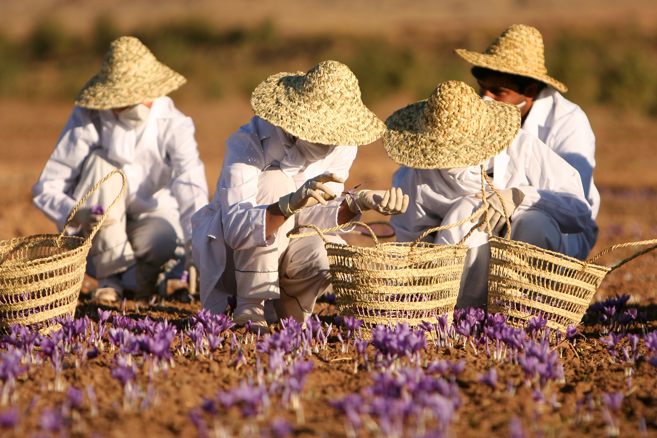 The Secret History of Spanish Saffron